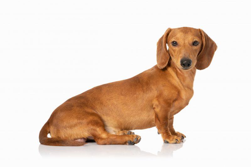 Disfraz perro salchicha