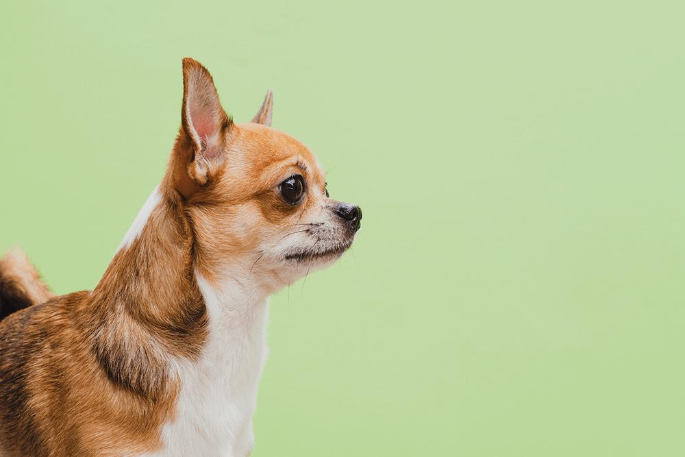 disfraz perro pequeño